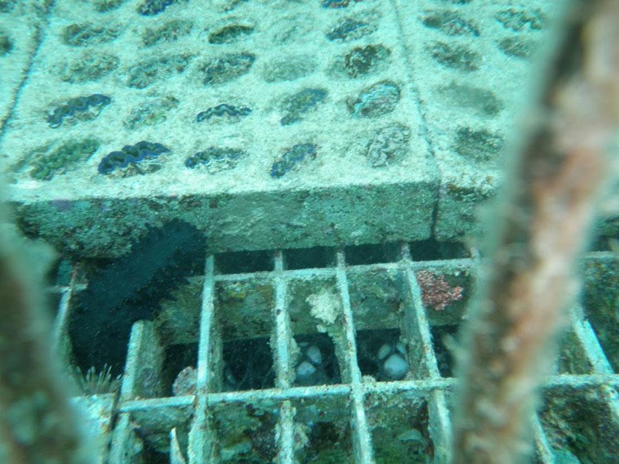 サンゴやシャコガイ棚の下にお酒を設置し海底熟成させる